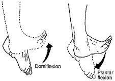 Función del tibial anterior