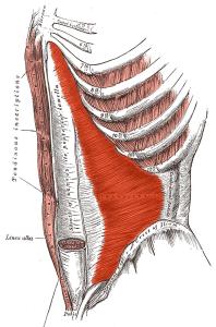Músculos del abdomen: transverso