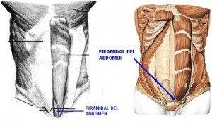 músculos del abdomen piramidal